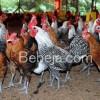 Beternak Ayam Arab