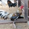 Ayam Lokal Khas Dayak