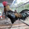 Ayam Tolaki Dari Sulawesi Tenggara