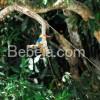 Raja Udang Indikator Ekosistem Sehat