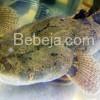 Pasar Ekspor Suka Ikan Betutu