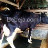 Sapi Perah Friesian Holstein