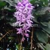 Bunga Elok Petrea Serupa Anggrek