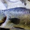 Budidaya Ikan Kakap Putih