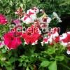 Semarak Bunga Petunia