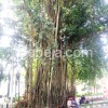 Pohon Beringin Penyerap Karbon