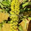 Daya Pikat Grammatophyllum Green