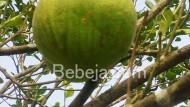 Kebun Jeruk Bali