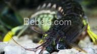 Udang Mantis Penjaga Terumbu Karang
