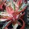 Pride of Sumatera, Aglaonema Legendaris
