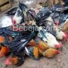 Ayam Kampung Tetap Pilihan