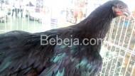 Ayam Adu Black Sumatera
