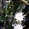 Mitos Dan Khasiat Bunga Wijayakusuma