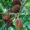 Maritam Rambutan Unik Kalimantan