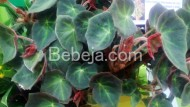 Begonia Varietas Tuti Siregar