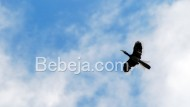 Burung Rangkong Penanda Hutan Sehat