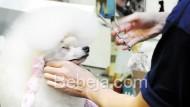 Rias Anjing Jelang Kontes