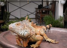Kepincut Sang Iguana