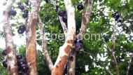 Jaboticaba Si Anggur Brasil
