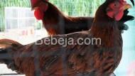 Ayam Merawang Khas Kepulauan Bangka Belitung