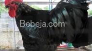Ayam Kampung Murung Panggang