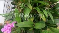 Anggrek Catleya Berbunga Di Tunggul Pohon