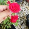 Bunga Mawar Penyemarak Teras Rumah