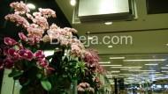 Suguhan Anggrek Bulan Di Bandara Changi