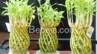 Hoki Dan Fengshui Bambu Rejeki