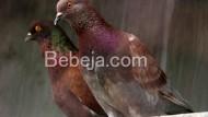 Burung Merpati Balap Unggul