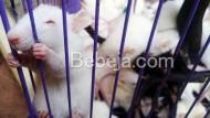 Peluang Usaha Beternak Tikus Putih