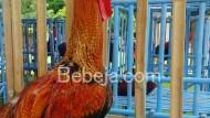 Kontes Ayam Pelung Sejak 1978