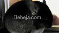 Chinchilla Tikus Berwajah Imut