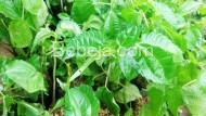 Bertanam Daun Poh Pohan Di Polibag