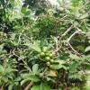 Pineapple Cherry Guava