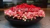 Kastuba Chritmas Flower