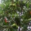 Senyawa Cerberin Pohon Bintaro