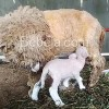 Bulu Lebat Domba Merino