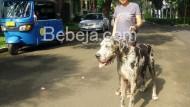 Anjing Great Dane Yang Ramah
