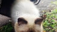 Kucing Persia Himalayan