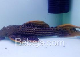 Sapu-sapu Hias Pseudacanthicus sp L-025