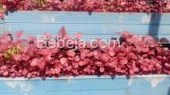 Berkebun Bayam Merah Di Talang
