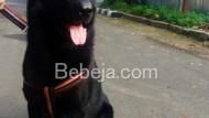 Anjing Gembala Jerman Hitam