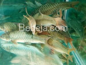 Hoki Ikan Dewa