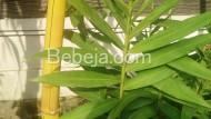 Antibakteri Dari Bambu Kuning