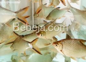 Budidaya Ikan Tengadak