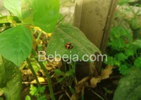 Terimakasih Pada Ladybug