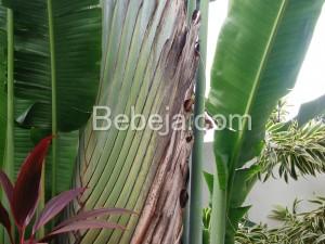 Pisang Kipas Dari Madagaskar