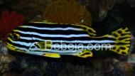 Bibir Kuning Kaci-kaci