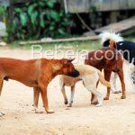 Anjing Tangguh Pemburu Babi Hutan